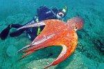 Столичные дайверы «клюнули» на приморского осьминога